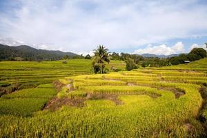 campo de arroz verde em socalcos