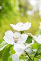 flores de marmelo foto
