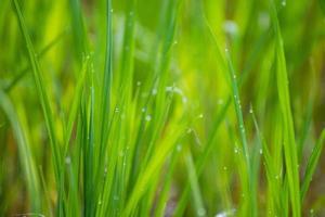 arrozal closeup foto
