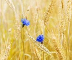 campo de trigo com flores únicas foto