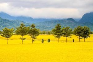campo de arroz pela manhã