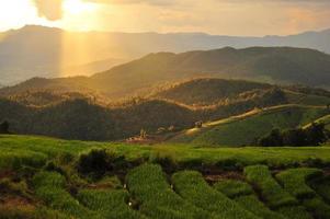 arrozais ao pôr do sol
