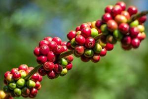 grãos de café amadurecendo em uma árvore