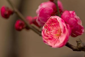 flor de ameixa 红梅 foto