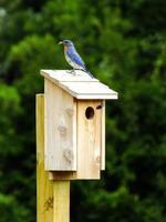 pássaro azul na casa do pássaro foto