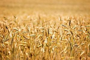 campo de cereal