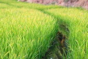 mudas de arroz foto