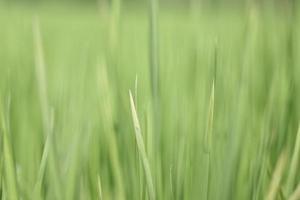 desfocar o fundo da textura do campo de arroz.