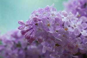 fundo macro de flores lilás foto