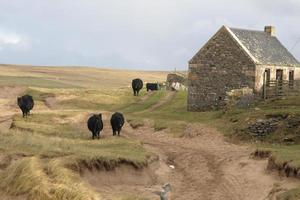 gado e casa na Escócia