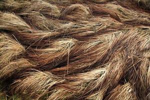 junco de grama seca de outono foto