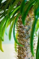 palmeira pachypodium madagascar foto