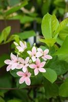 flor quisqualis indica foto
