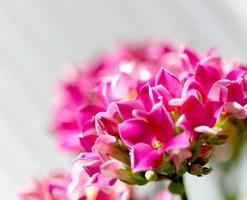 closeup de flor vermelha em um fundo branco foto