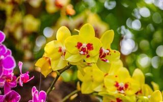 lindas orquídeas, phalaenopsis, em casa verde foto