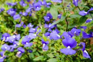 flores roxas de lavanda no campo foto
