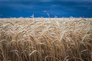 campo de ouro de trigo antes da tempestade