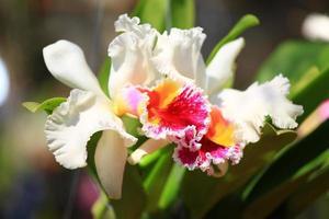 linda flor de orquídea branca e magenta linda