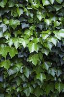 folhas de hera na parede - textura de fundo foto