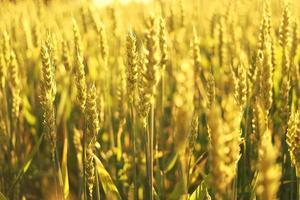 campo de trigo no sol.