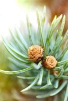 broto de pinheiro fresco foto