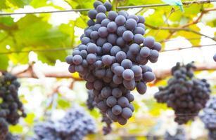 vários cachos de uvas maduras na videira foto