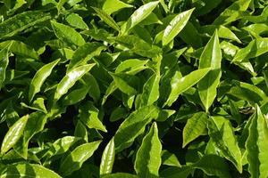 fechar as folhas de chá verde