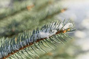 galho de árvore de abeto com neve foto
