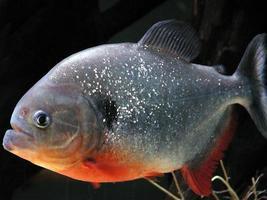piranha vermelha