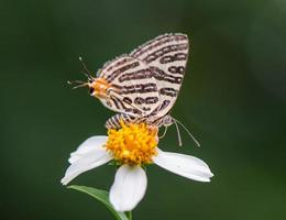 borboleta (club silverline, cigaritis syama) foto