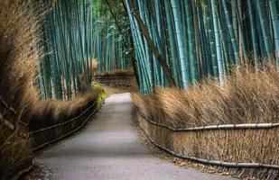 bosque de bambu de kyoto foto