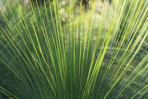 atirando gavinhas de uma árvore de grama foto