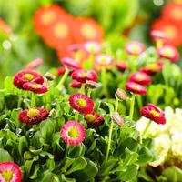 flores vermelhas da primavera em vasos de bellis