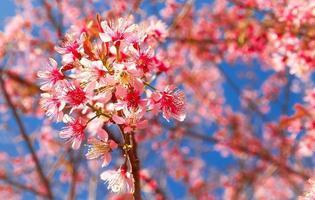 cereja selvagem do himalaia foto