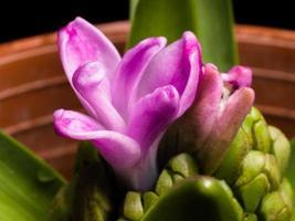 série de flores caseiras, jacinto