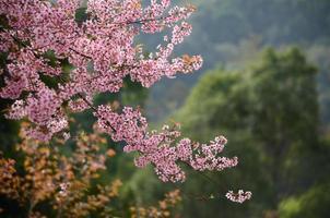 Sakura na Tailândia
