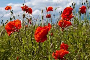 flores de papoula ao sol
