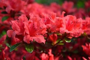 rododendro florescendo no jardim de verão foto