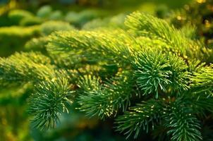ramo de árvore do abeto. foto