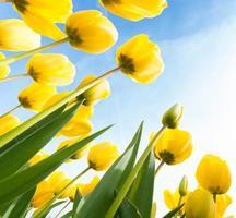 tulipas amarelas