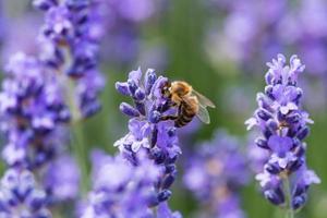 lavanda em flor com abelha