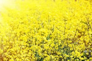 campo de colza