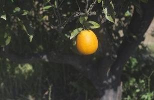laranjas em um galho foto