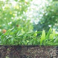 pequena samambaia de folhas de couro crescendo na árvore