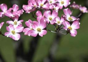 Dogwood rosa sobre fundo verde