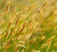 grama de trigo do prado amarelo selvagem foto