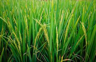 arroz em um campo