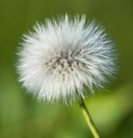 flor de pissenlit foto