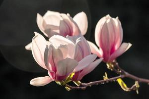 flores de magnólia em um fundo escuro foto