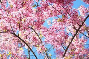 flor de sakura thai chiang mai tailândia foto